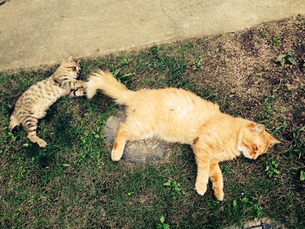 新米招き子猫シュシュ。